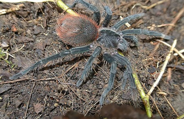 Eastern Tarantula
