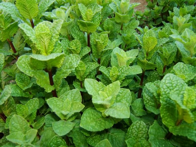 Leaves Of Pepper Mint