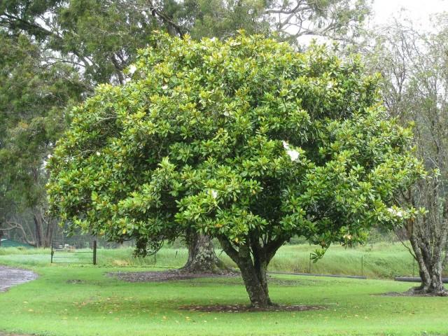 Magnolia Grandiflora Flowering Plant