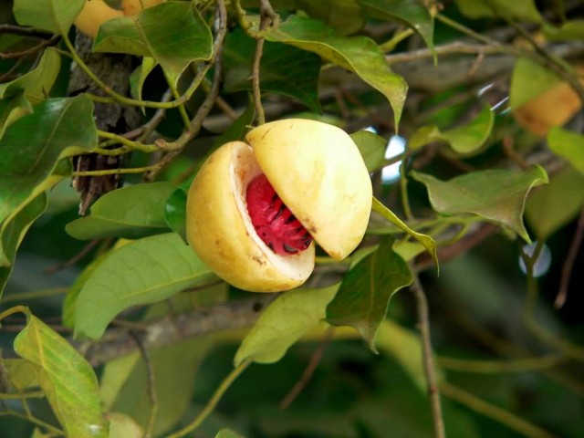 Nutmeg On Tree