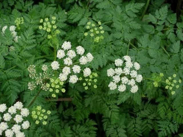 Poison Hemlock Plant