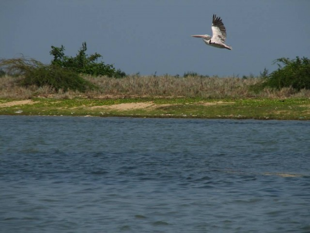 Pulicat Lake And Pelican Bird