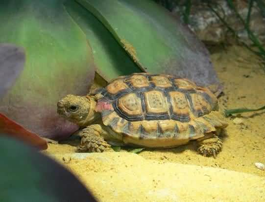Speckled Tortoise