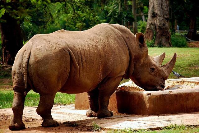 Rhinoceros-Diceros Bicornis